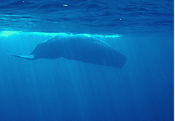Sperm whale - photo by Chris Johnson