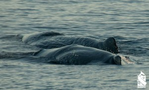 Sperm whales in Gulf of Mexico 2013