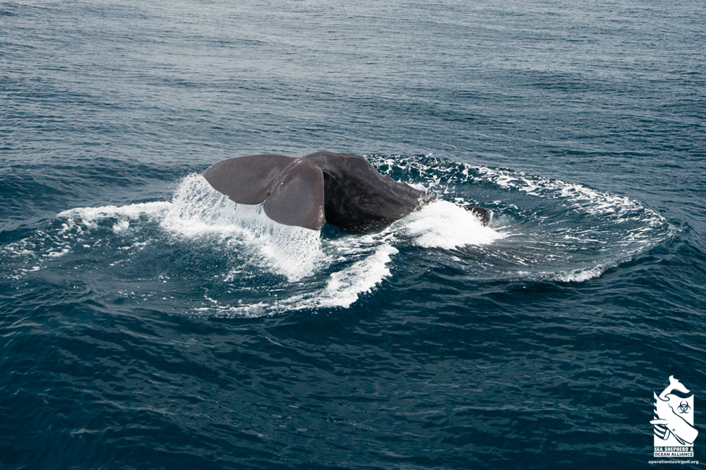 Sperm whale diving in the Gulf of Mexico