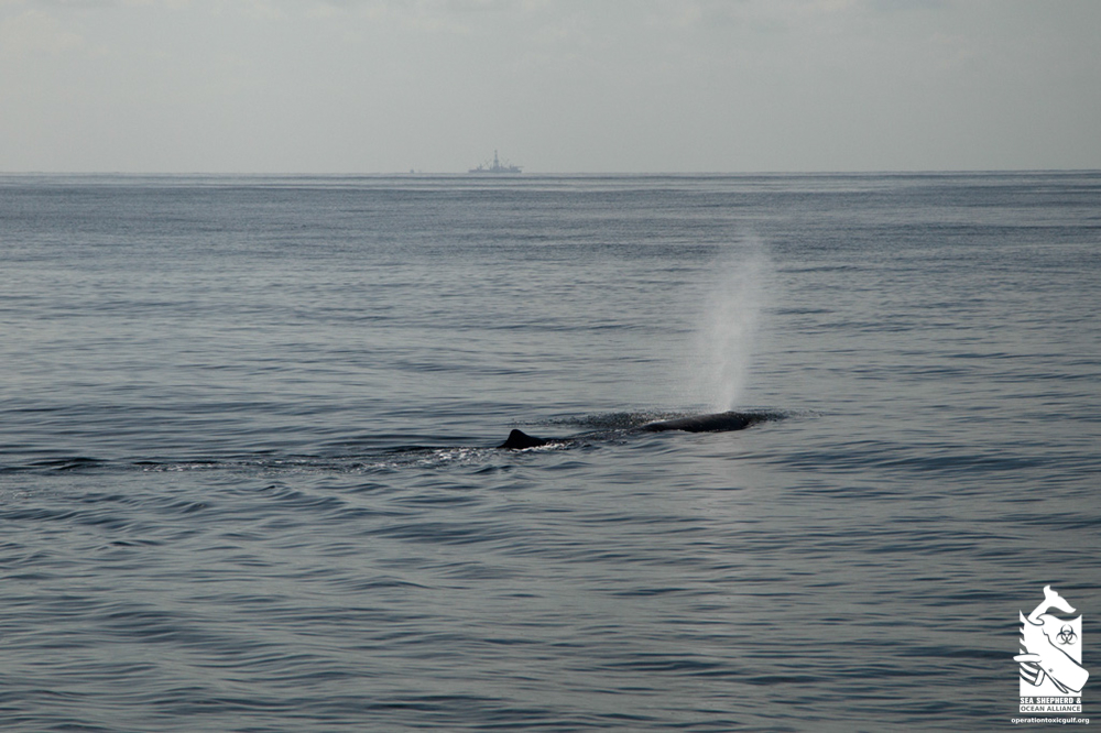 Sperm whale blow with oil rig