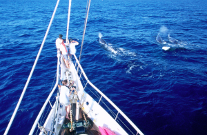 sperm whales off bow