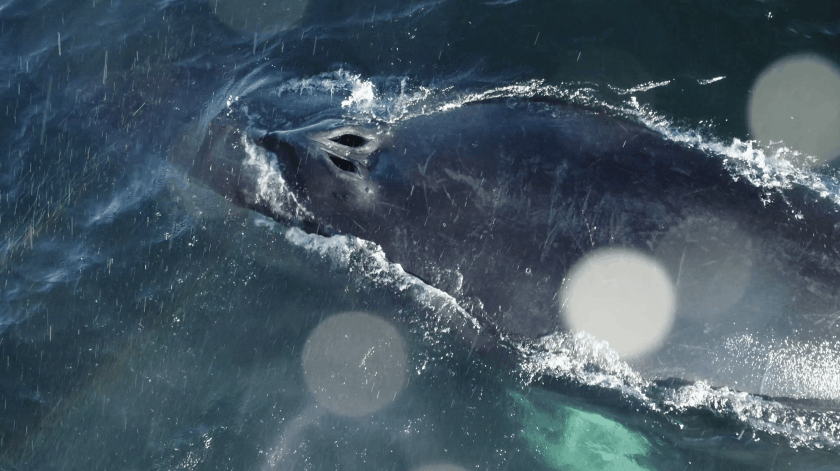 Searching for whales in the Gulf of Maine