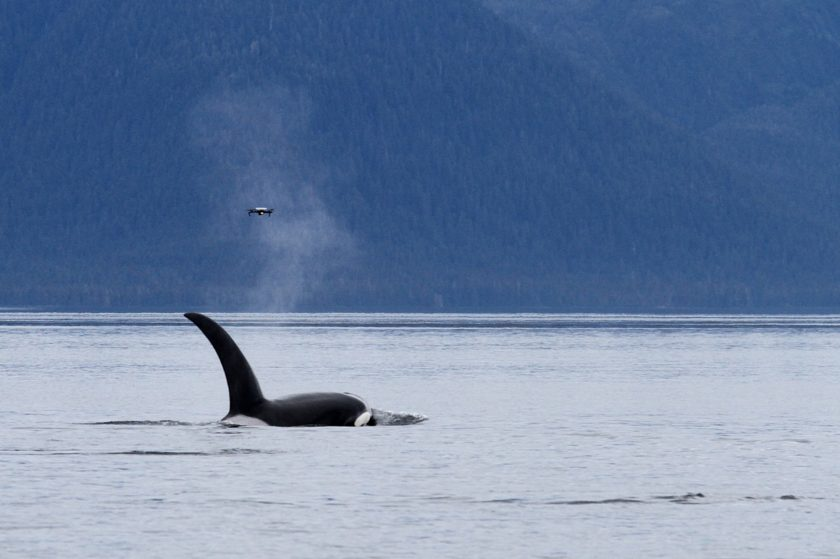Buy Orca or Dolphin coffee from Spirit Bear, help the whales!